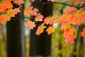 Bright orange Maple leaves in the forest