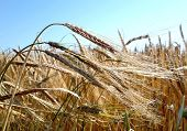Barley  Closeup Of Ears Of Corn In A Danish Barley Field