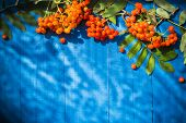 Autumnal Background Rowan Fruits On Blue Wooden Boards