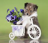 Sheltie puppy on a bicycle