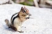 Wild Chipmunk (tamias Striatus)