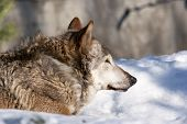 An old wolf female lying on fresh snow.