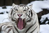 Closeup portrait of yawning white bengal tiger on snow background