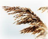 Whisk Reeds