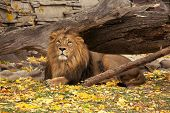 A Full Length Portrait Of A Young Asian Lion, Lying On Autumn Background.