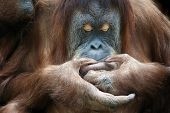pic of orangutan  - Closeup portrait of an orangutan female is looking at something on her lips - JPG