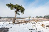 foto of pinus  - Scots pine tree or Pinus sylvestris against a blue sky on a clear and sunny day in wintertime - JPG