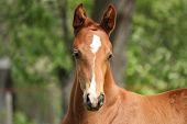 image of chestnut horse  - Chestnut cute horse foal portrait in summer outside  - JPG