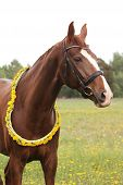 stock photo of chestnut horse  - Portrait of chestnut horse with dandelion circlet at the pasture  - JPG