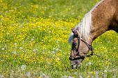 Horse (equus Caballus) In The Meadow