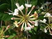 picture of honeysuckle  - beautiful flower honeysuckle  - JPG