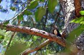 Squirrel On Pine Tree