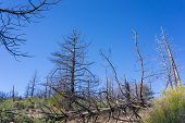 Stand Of Burned Pines