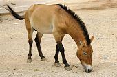 Przewalski Horse In Captivity