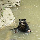 Spectacled Bear Bathing