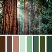 Early morning sunlight in the Sequoias of Mariposa Grove, Yosemite National Park, California, USA, in a colour palette with complimentary colour swatches