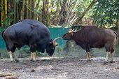 Indian gaur, pair; male on left