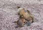 Baby Galapagos Sea Lion Nursing