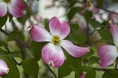 Spring Blooming Pink Dogwood Flowers