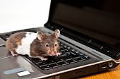 Syrian Hamster Crawling On Top Of A Laptop