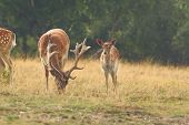 Herd Of Fallow Deers In Clearing