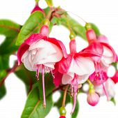 foto of pompous  - beautiful red and white fuchsia flower is isolated on the white background  - JPG