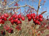 picture of barberry  - Holiday background  - JPG