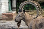 Head of the mountain ram in profile at the zoo in Ukraine