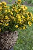 The Herb St. John's Wort In A Basket On A Wooden Bench.