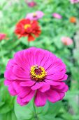 stock photo of zinnias  - pink zinnia flower in garden under sunshine