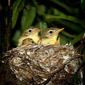 Gelbspötter, Hippolais Icterina. Nest