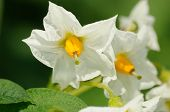 picture of solanum tuberosum  - beauty of white flowers of potato close up - JPG