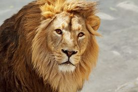 image of lion  - Eye to eye contact with a young Asian lion - JPG