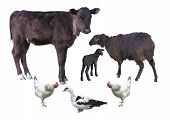 picture of calves  - Farm animals isolated over white  - JPG