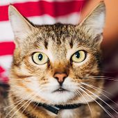 picture of yellow tabby  - Close Up Portrait Peaceful Tabby Male Kitten Cat - JPG