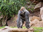 picture of gorilla  - gorilla in the zoo Loro Parque - JPG