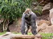 image of zoo  - gorilla in the zoo Loro Parque - JPG