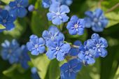foto of small-flower  - small blue spring flowers close up  - JPG