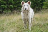 picture of sheep-dog  - White dog that guards the flock of sheep in the mountains - JPG