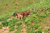 image of groundhog day  - Marmot near the burrow - JPG