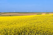 image of rape  - Clean energy in the spring rape flowers were yellowing the fields with wind farm in Poland - JPG