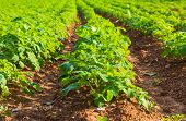 picture of potato-field  - Rows on Potato field with green bushes - JPG