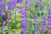 image of salvia  - Blue Salvia farinacea flowers blooming in the garden - JPG