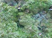 picture of lichenes  - green and blue lichen - JPG