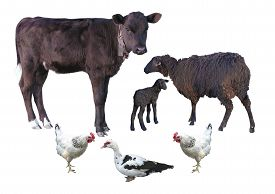 picture of baby sheep  - Farm animals isolated over white  - JPG