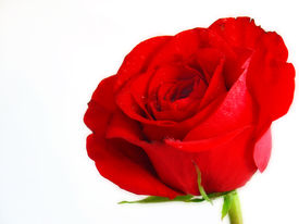 foto of rose flower  - red rose on pure white background - JPG