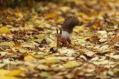 Eichhörnchen im Herbst fores