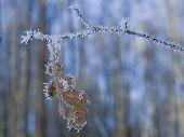 Frozen Oak Tree Leaf