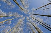Pine Forest At Winter