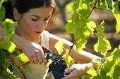 Portrait of a young woman cutting a bunch of grapes